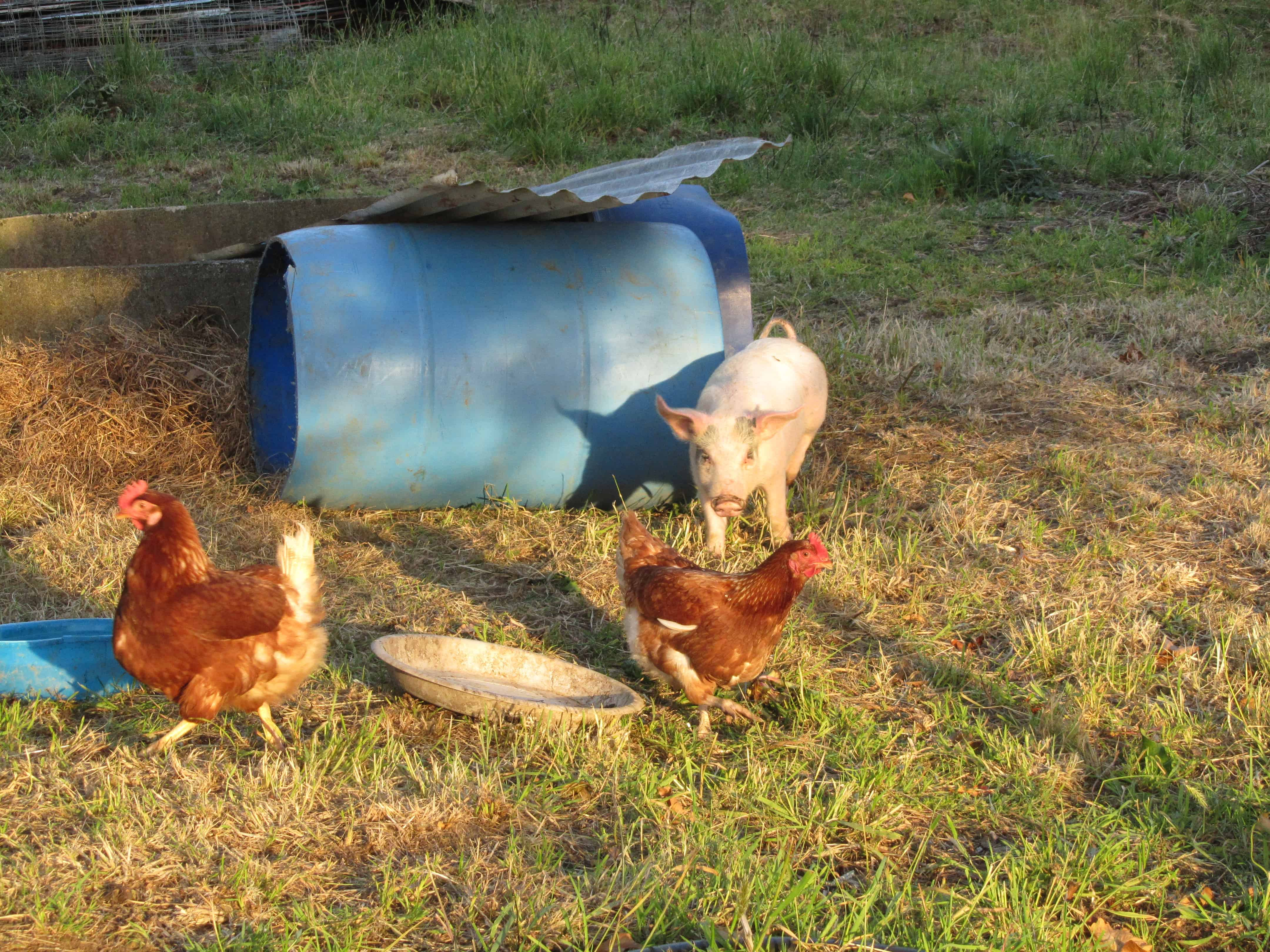 Hanging out with the chooks