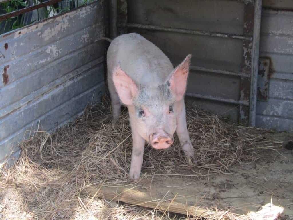 Growing pigs