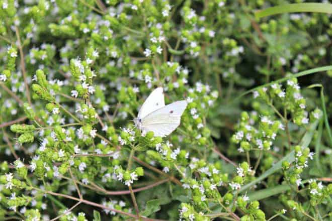 The battle of the white butterfly