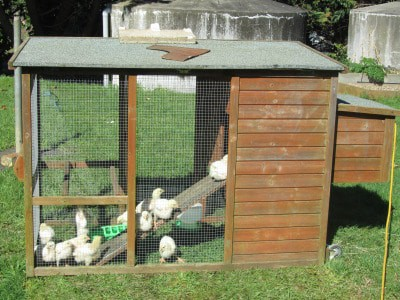 Raising Meat Chicks – Week 2