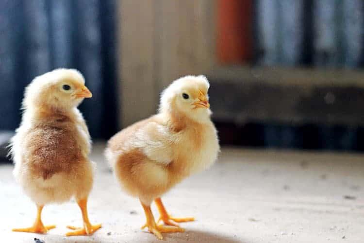 2 yellow chicks on bench