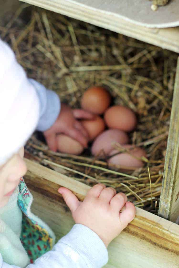 Toddler collecting eggs from nesting box