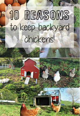 10 reasons to keep backyard chickens