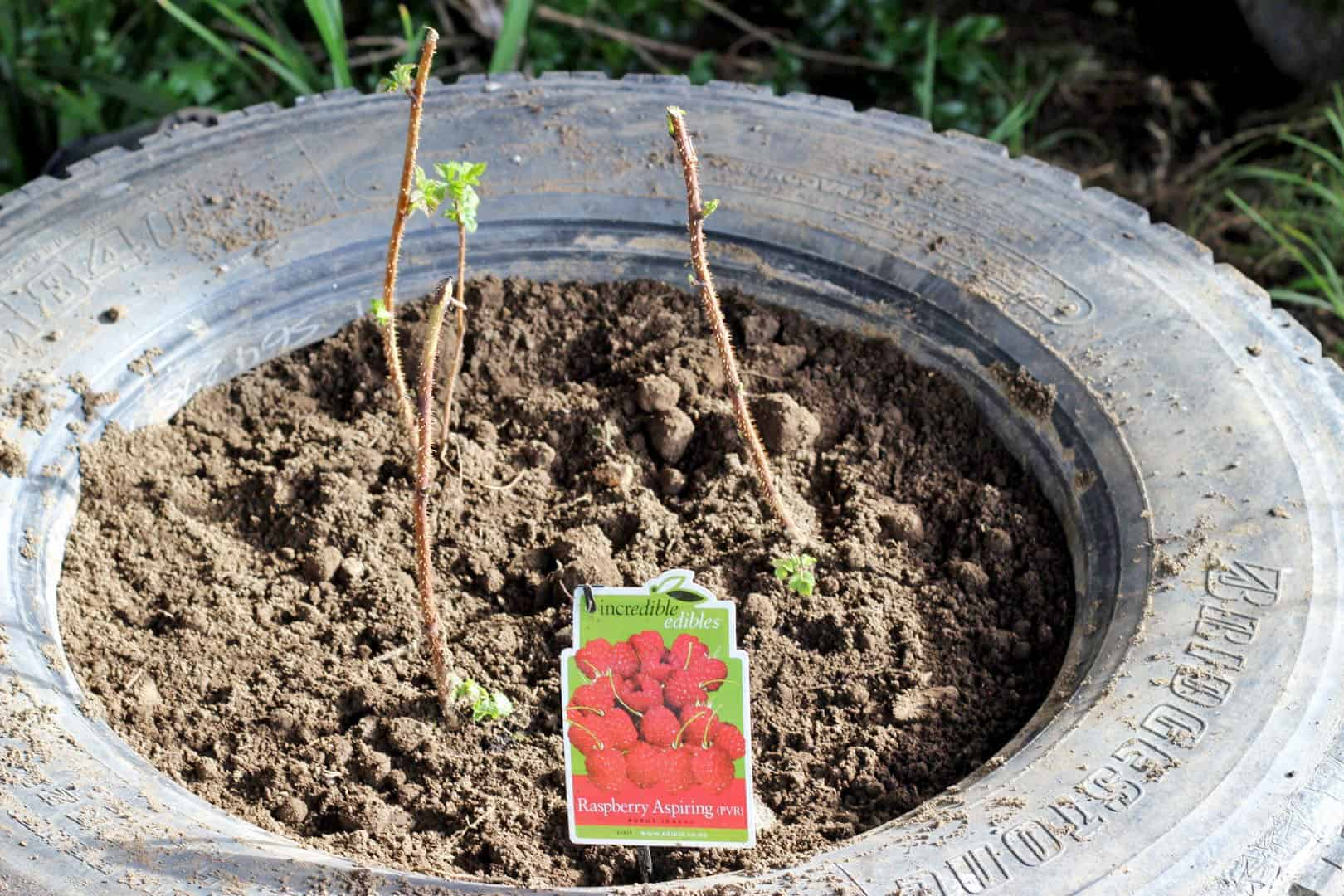 Planting raspberries (7)