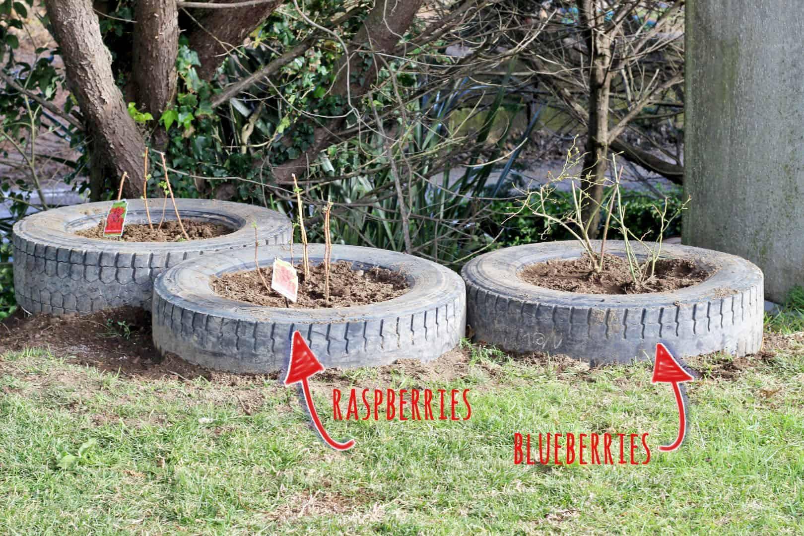 Planting raspberries (8)