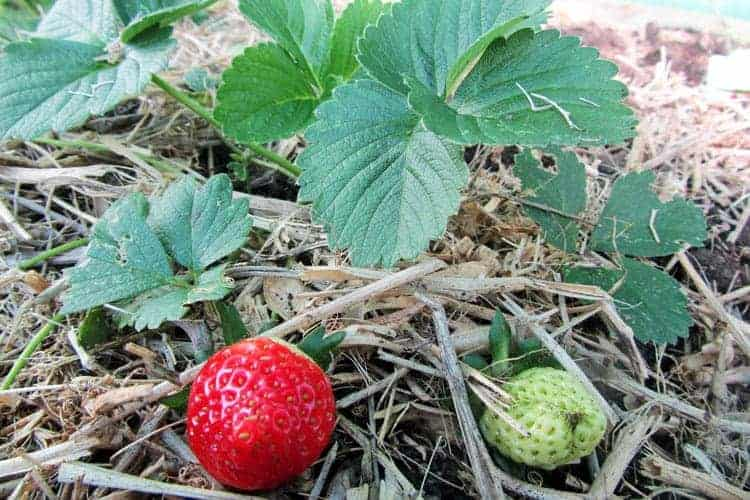 Strawberry plant with one red berry on a bed of hay