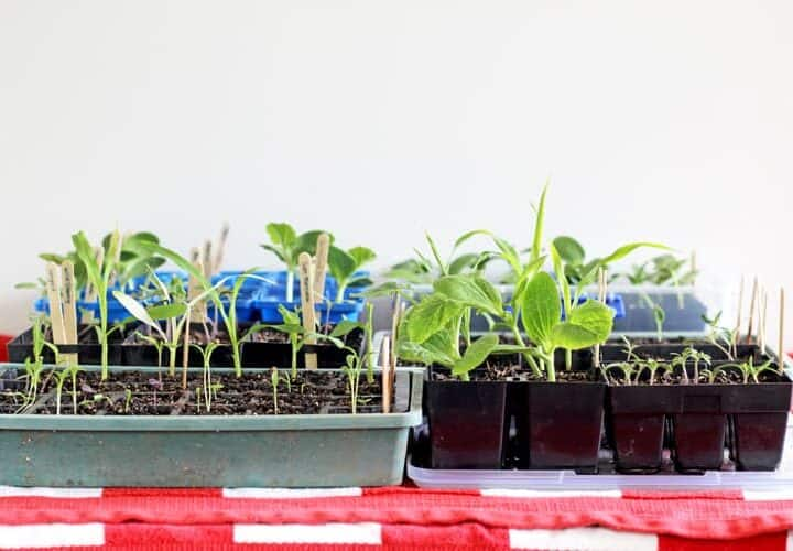 Seedlings in plastic punnets on a table