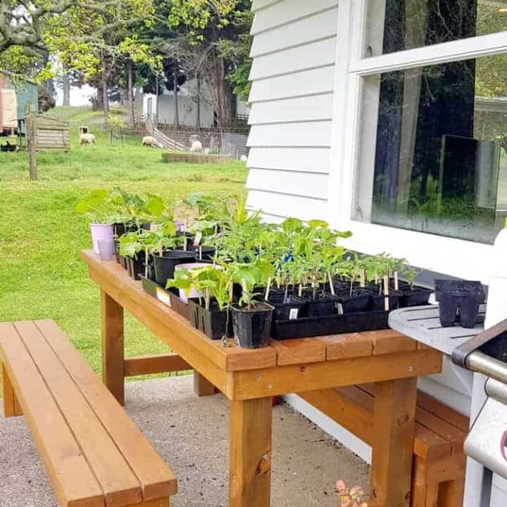 Seedlings sitting on picnic table outside