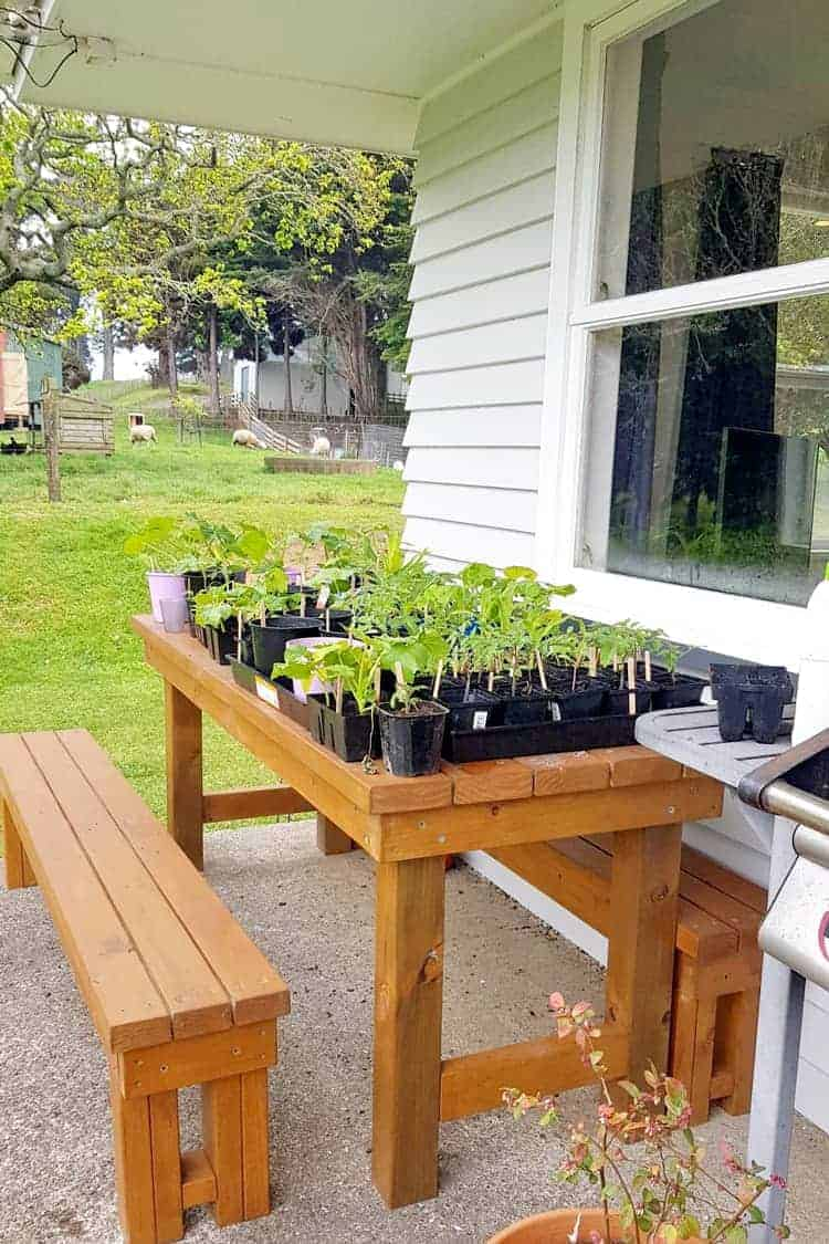 Seedlings sitting on picnic table outside