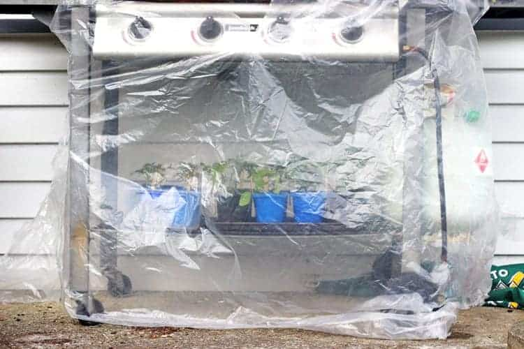 Seedlings in a makeshift greenhouse under BBQ
