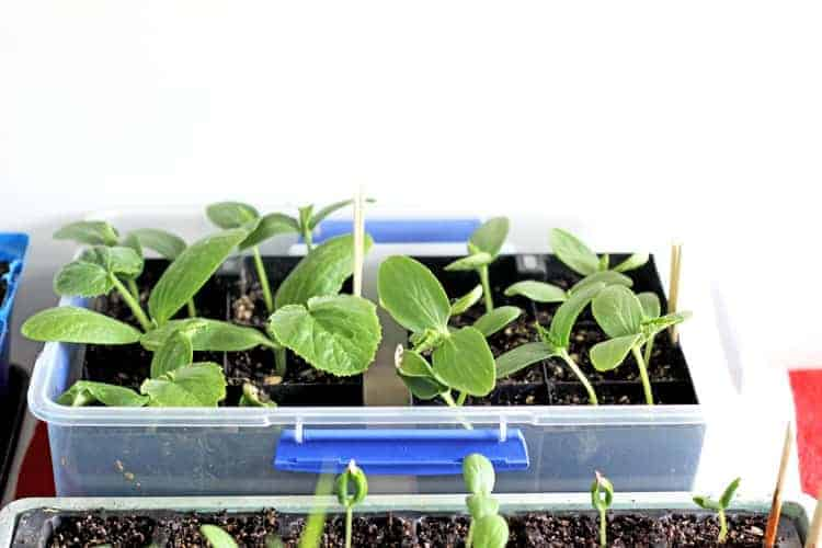 Seedlings in a container inside