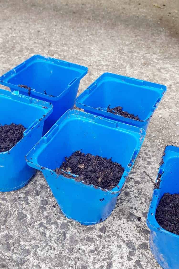 Blue seed pots half filled with potting mix