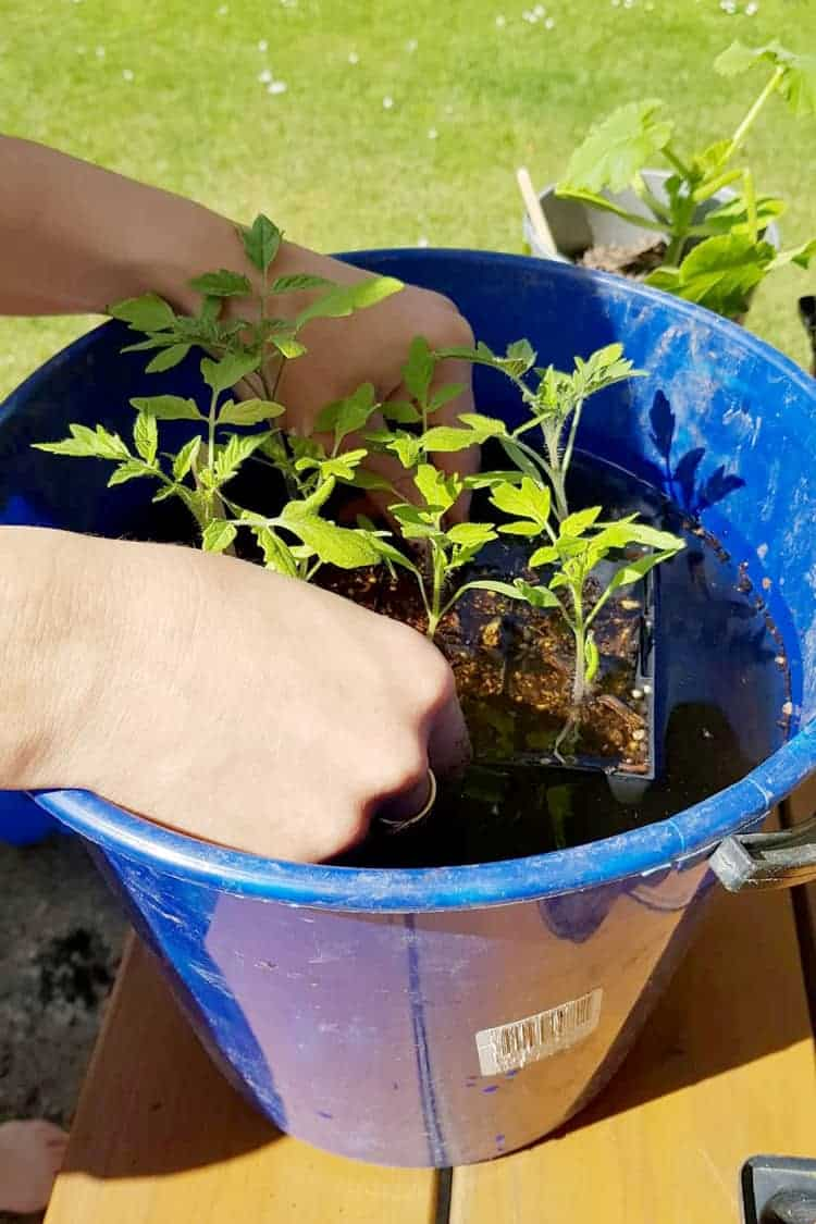 Seedlings being dipped in a bucket of liquid fertiliser