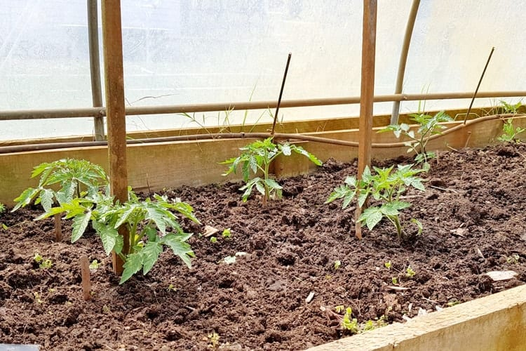 Freshly planted tomato seedlings in the garden