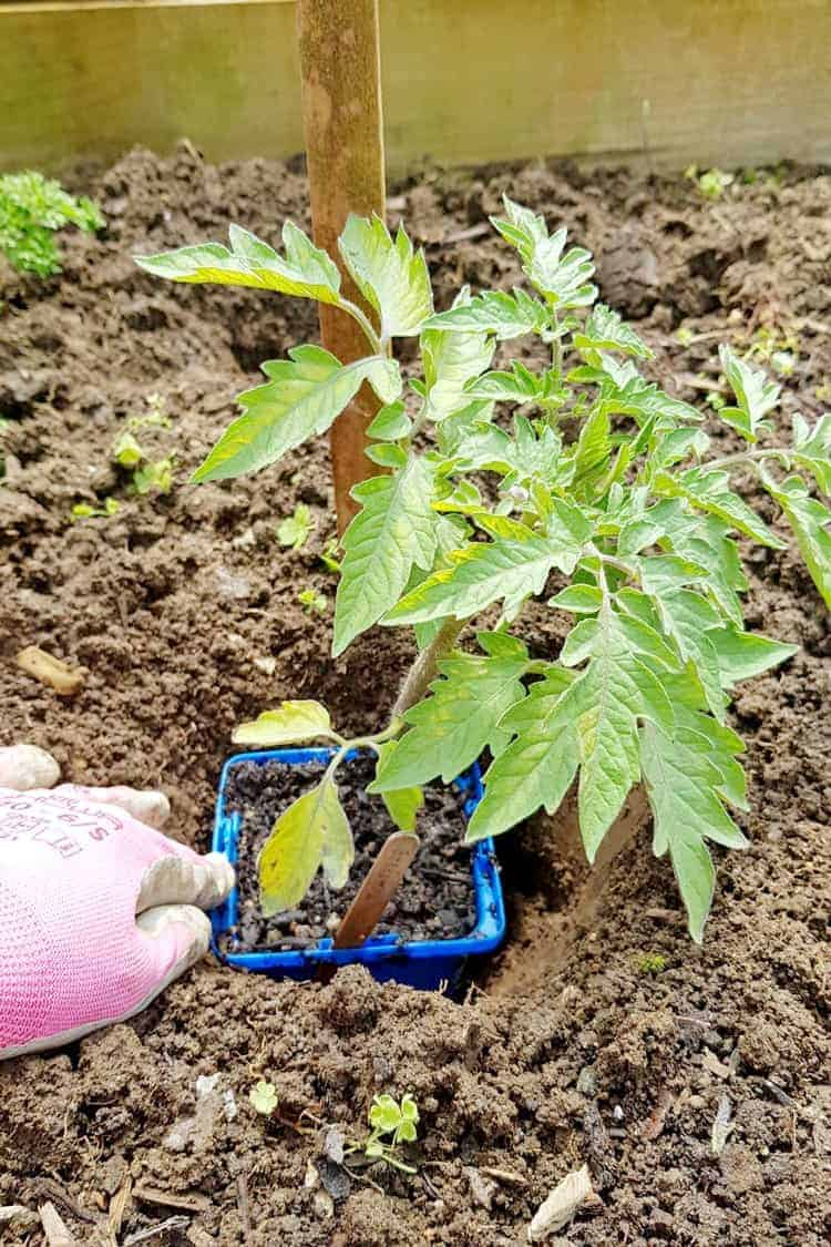 Placing a tomato seedling in a pot in a hole in the garden