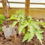 Tomato seedling in the ground with hand trowel next to it