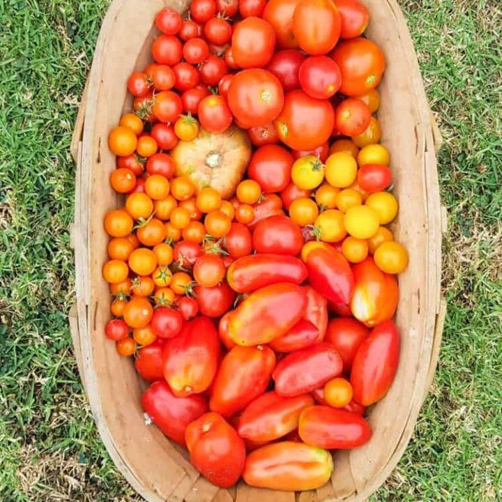 Wooden trug full of tomatoes