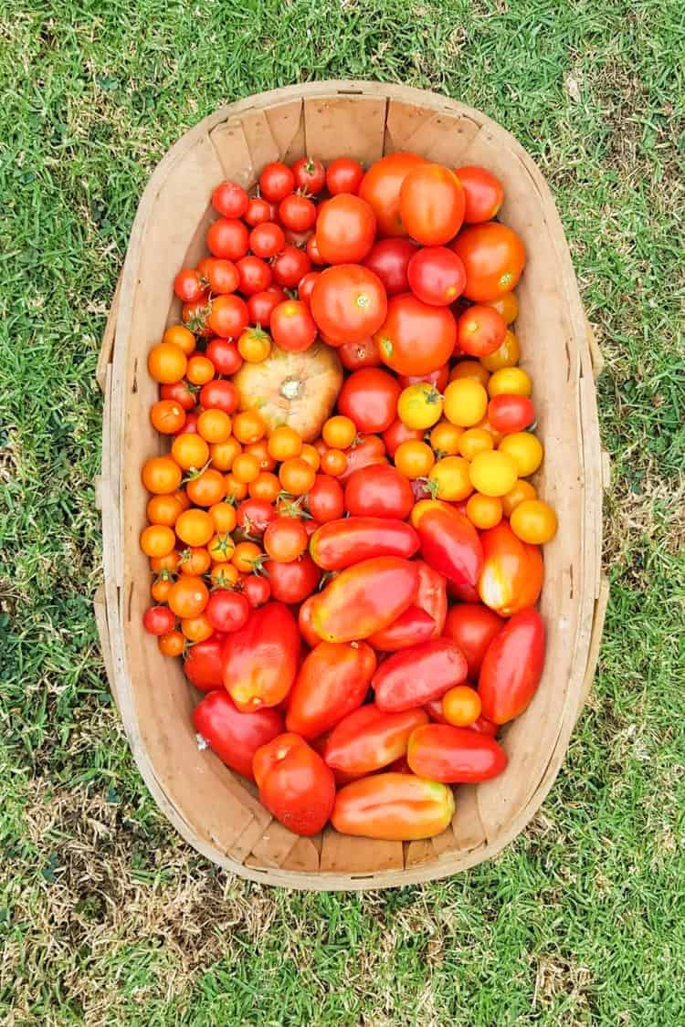Wooden trug full of tomatoes