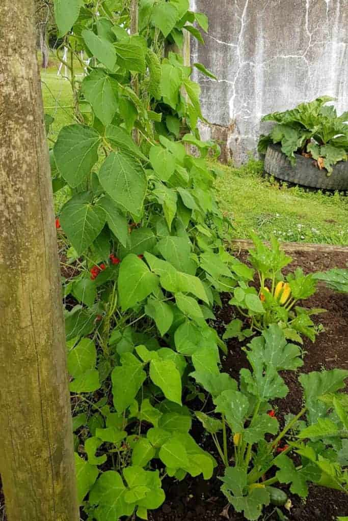 Beans in garden