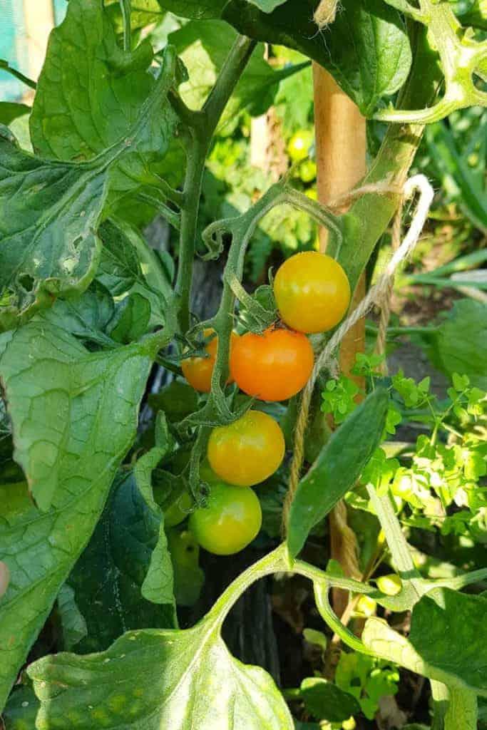 Cherry tomatoes in garden