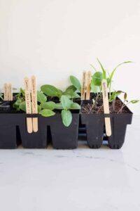 Seedlings in punnets